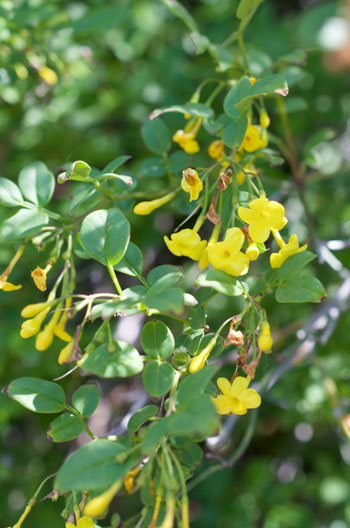 Jasminum humile flower essence