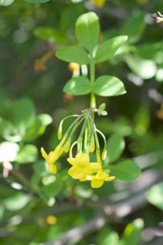 Jasminum humile flower essence