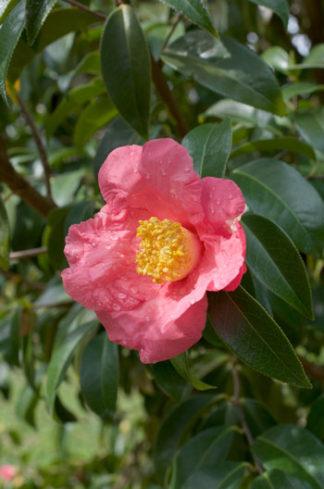 Camellia reticulata flower essence