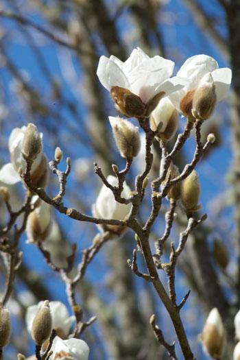 Magnolia denudata flower essence