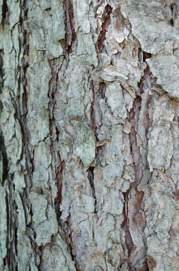 Pinus yunnanensis bark