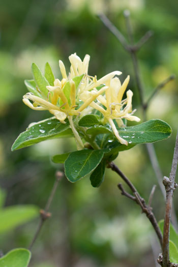 Lonicera morrowii flower essence