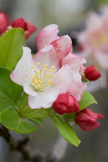 Malus sieboldii flower essence