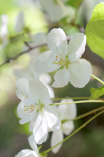 Malus sikkimensis flower essence