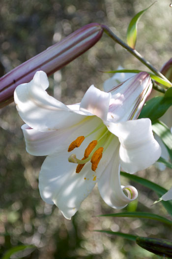Lilium leucanthum flower essence