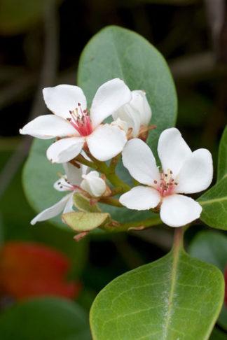 Rhaphiolepis umbellata flower essence