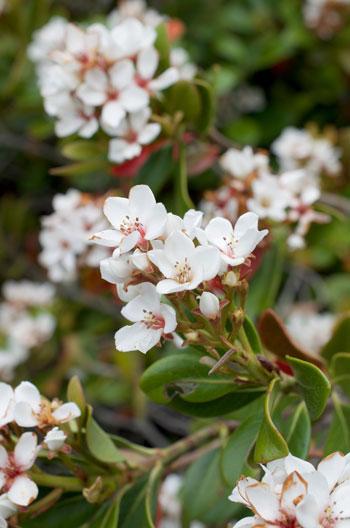 Yeddo Hawthorn flower essence