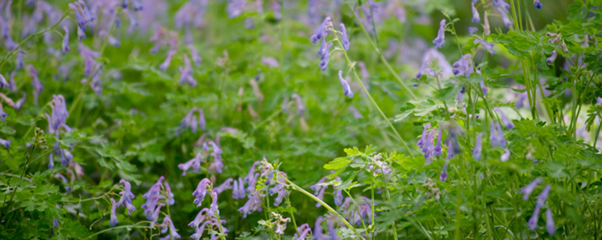 Blue Corydalis Flower Essence