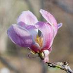 Hope of Spring Magnolia