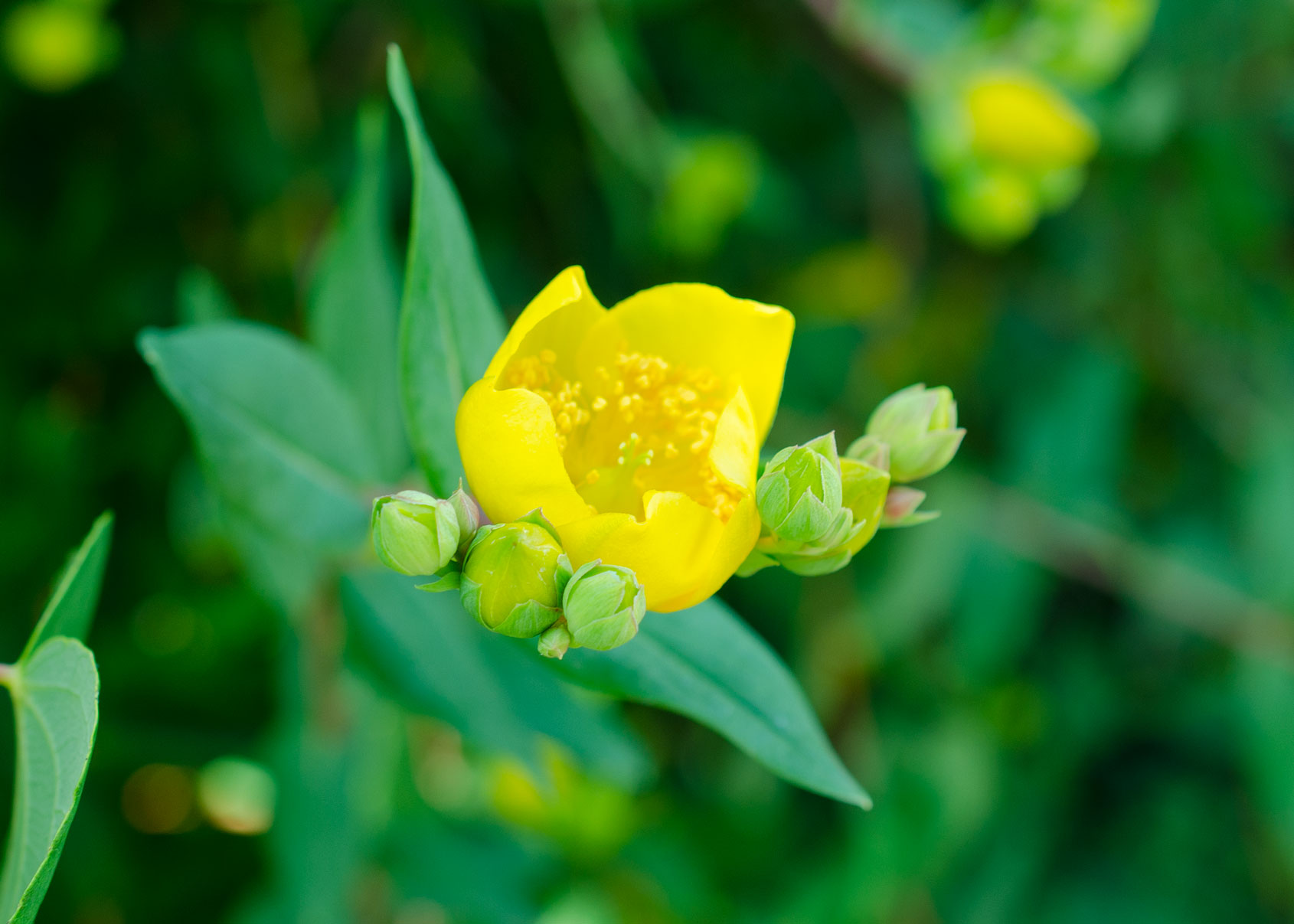 flower essence for anxiety