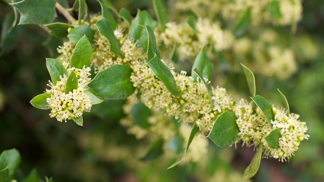 Okinawan Holly flower essence for boundaries