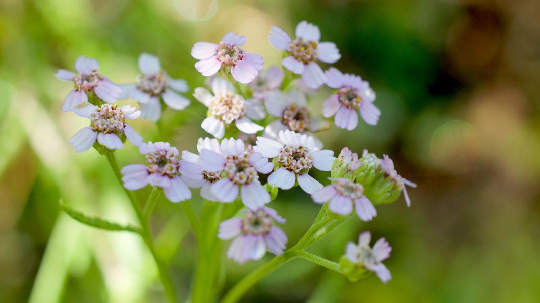 flower essence for boundaries