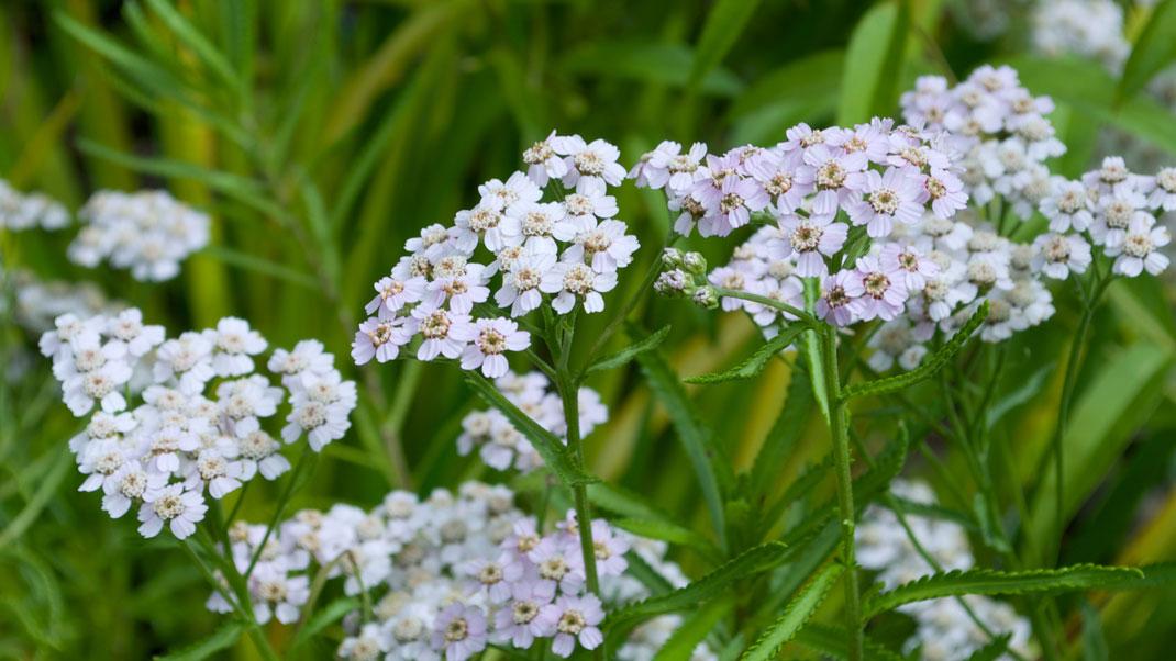 Siberian Yarrow flower essence for boundaries