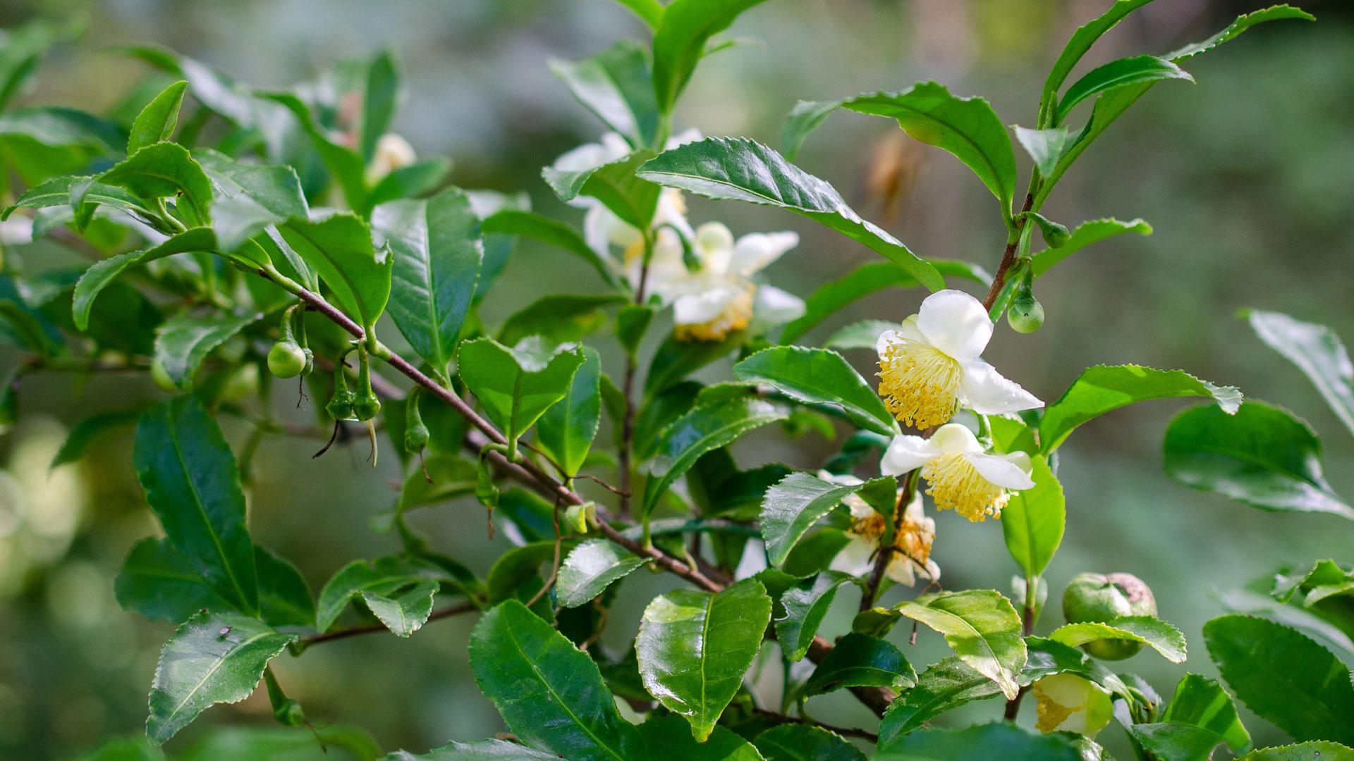 flower essence for calm